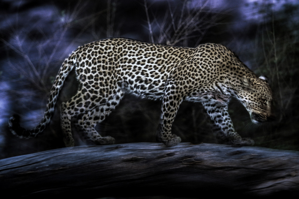 A leopard heads out for a night of prowling, Okavango Delta, Botswana. Film capture.