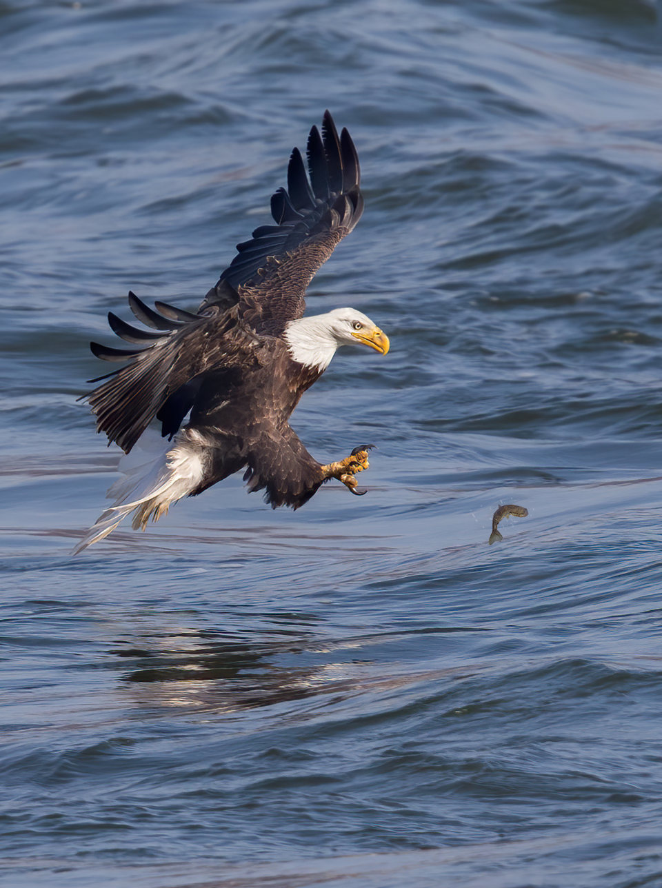 Bald Eagle photographed with EF 600mm f/4L IS II USM Lens with 2x Teleconverter, f/9, 1/250 second, ISO 1000 © David Speiser