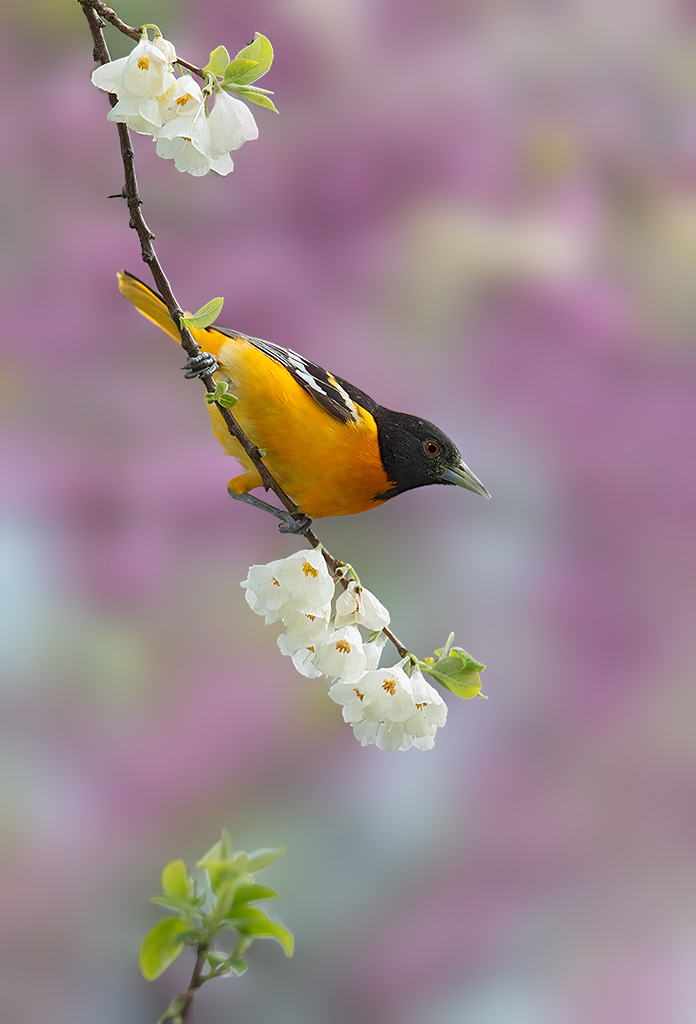 Oriole photographed with EF 300mm f/2.8L IS II USM with 2x Teleconverter, f/6.3, 1/640 second, ISO 800 © David Speiser