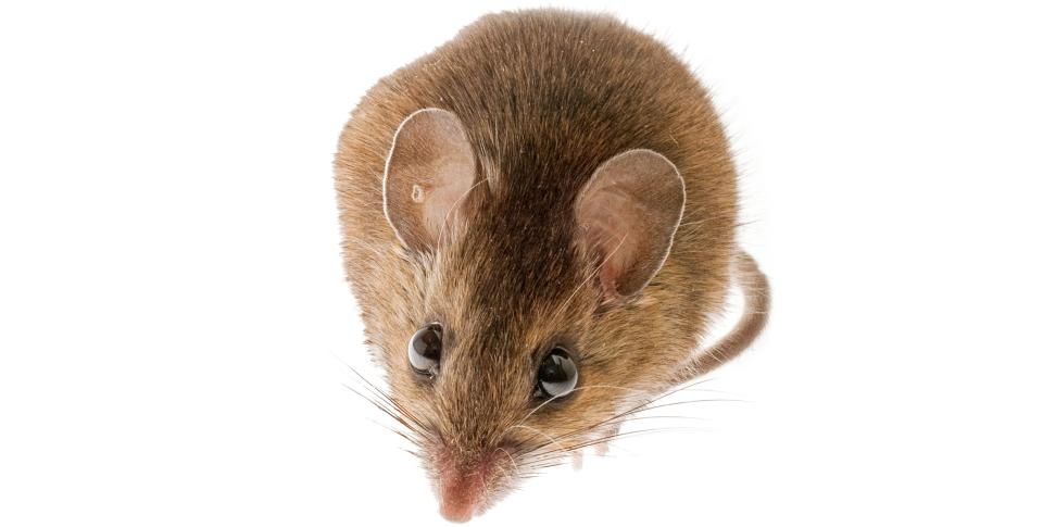 White-footed Deer Mouse, Peromyscus Maniculatus, South Carolina