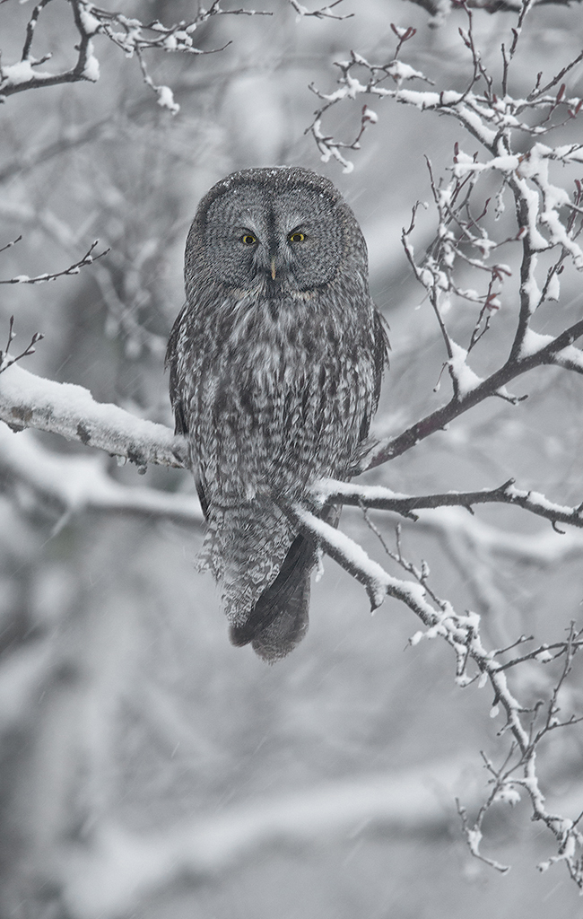 Great gray owl photographed with EF 600mm f/4L IS II USM with 1.4x Teleconverter, f/5.6, 1/80 second, ISO 1600 © David Speiser