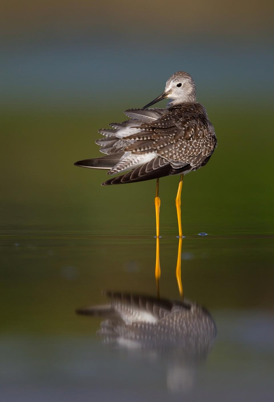 A Lesser Yellowlegs preens its feathers to keep them in top condition. 1/1600; f/5.6; ISO 200