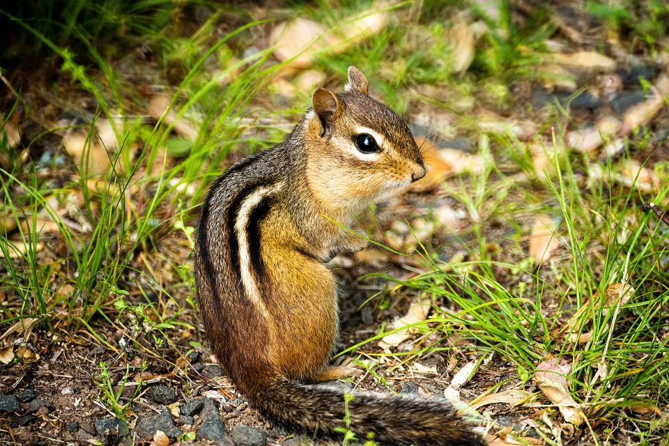 Chipmunks may not be the most exotic animals, but their shy habits and quick getaway speed make them terrific for practice runs. And besides, look how cute the little bugger is!