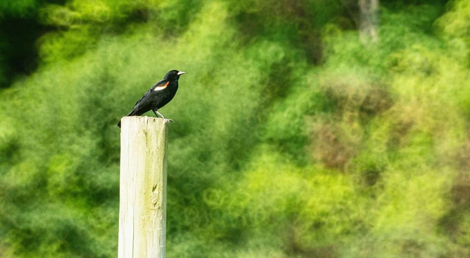 Birds perching on posts, fences, and on the tops of branches are easier to isolate from visual distractions in the foreground and background. Here, a Red-Winged Blackbird perches on a fence post.
