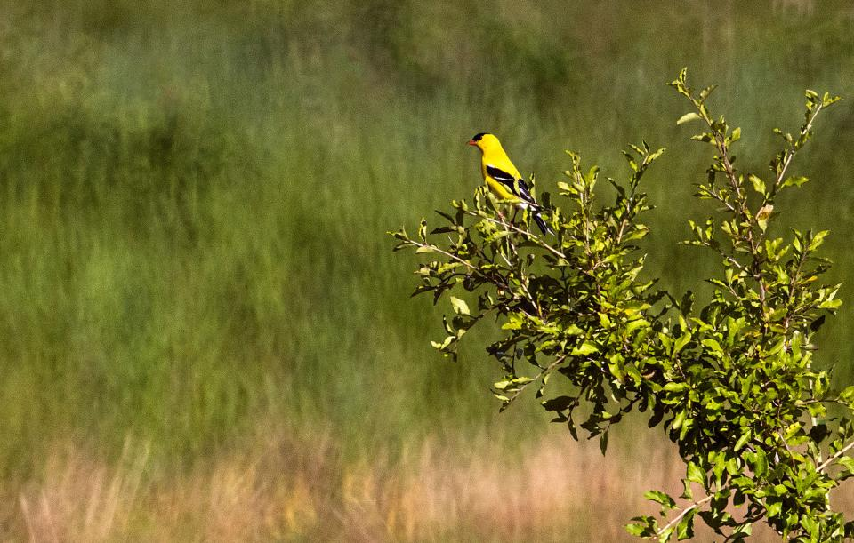 An American Goldfinch perching on top of a branch (above) and an Eastern Bluebird perched on top of a dried sunflower (below) pop from their surroundings. These photos were taken with a 400mm lens. A 500mm or 600mm lens would have brought me in that much closer.