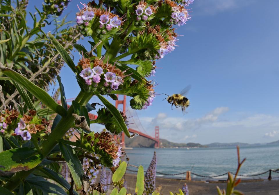 A Black-tailed Bumble Bee (Bombus Melanopygus) flies in front of the Golden Gate Bridge, San Francisco
