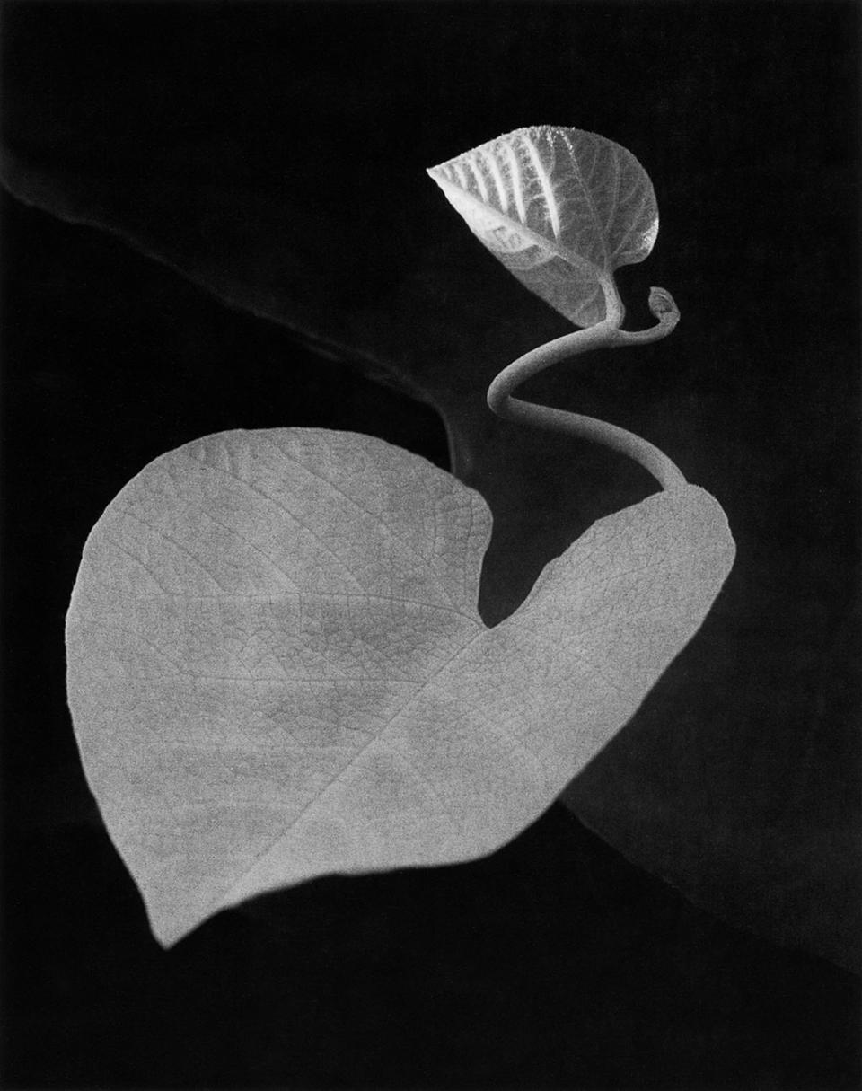 Two Leaves, Brewster, New York © 1963, Paul Caponigro