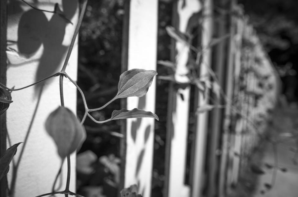 Later that night, the vines continue to lurk (Leica M10 Monochrom; Zeiss Distagon 25mm f/2 FZ.2)