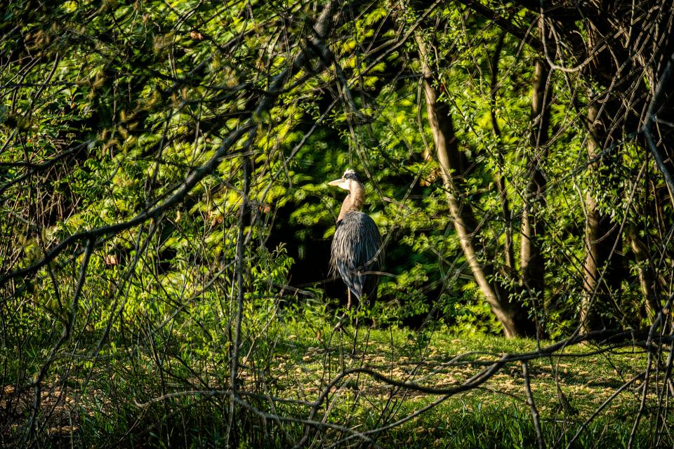 I spotted this Blue Heron early one morning at a nearby park. Shy by nature and rightfully suspicious of humans, I slowly made my way closer to the bird, pausing every few feet to take a few additional pictures along the way with a 400mm lens.