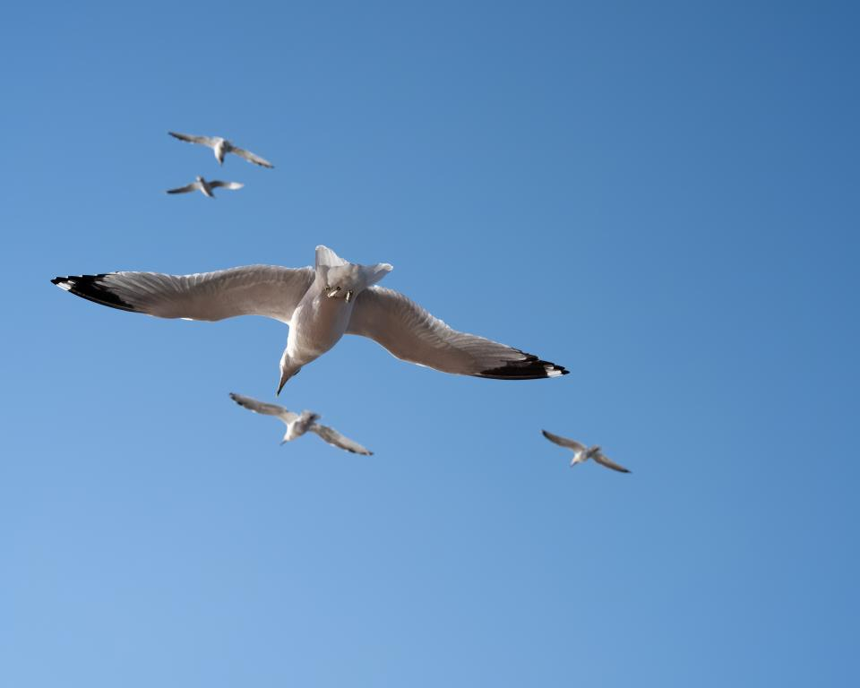 Tracking seagulls on the ferry with the 65mm f/2.