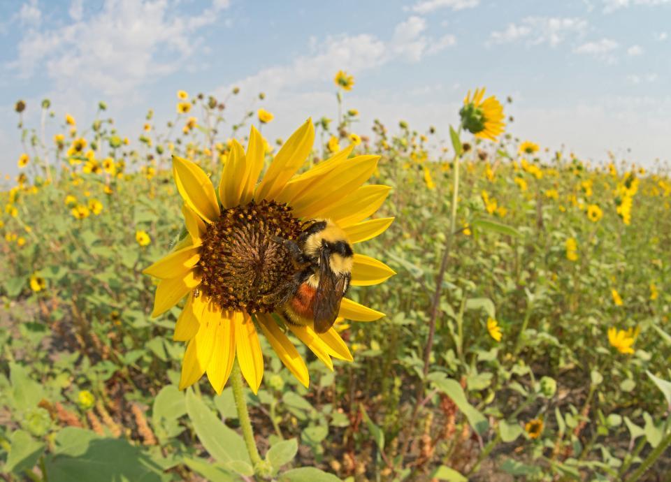 Hunt's Bumble Bee (Bombus Huntii), Gyne (New Queen), Malta, Montana