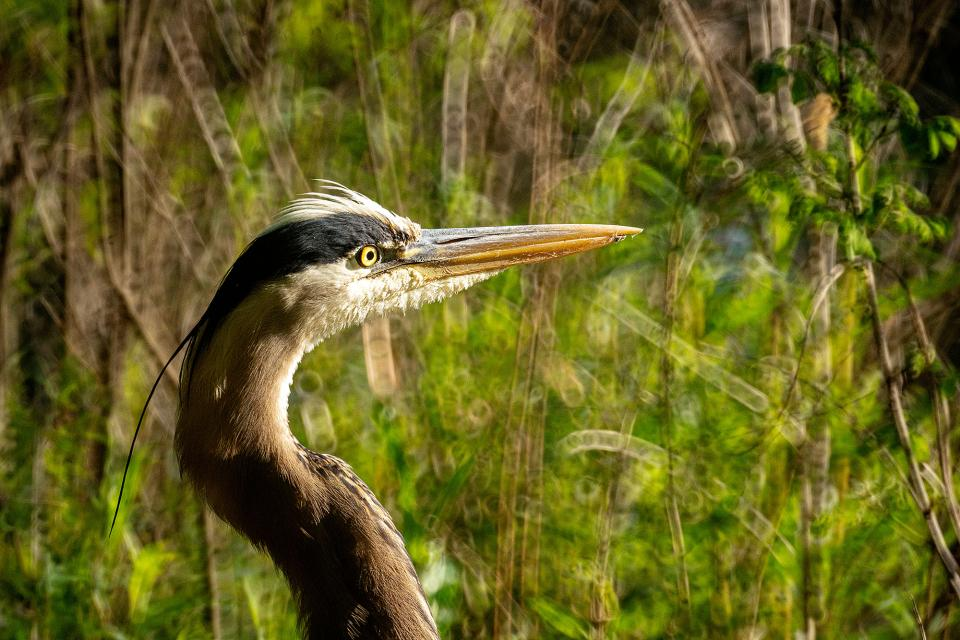 Ultimately, I captured this tight, head-and-shoulders portrait of the Heron from a distance of about 20'. Moving slowly, quietly, and non-aggressively is imperative when approaching wildlife.