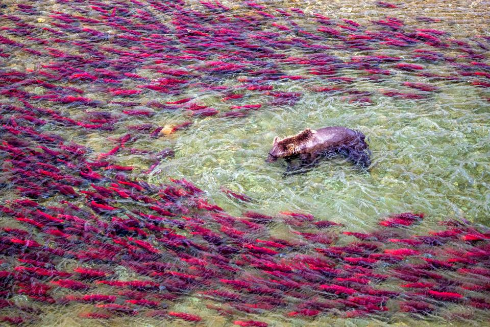 """A brown bear fishes for sockeye salmon in Alaska's Katmai National Park. Rather than using a drone, Art Wolfe sought out a vantage point to capture the action from a high river bank. """"As we know from online videos and news stories, drones are very problematic when it comes to many wildlife situations,"""" says Wolfe. """"The noise can be terrifying."""""""