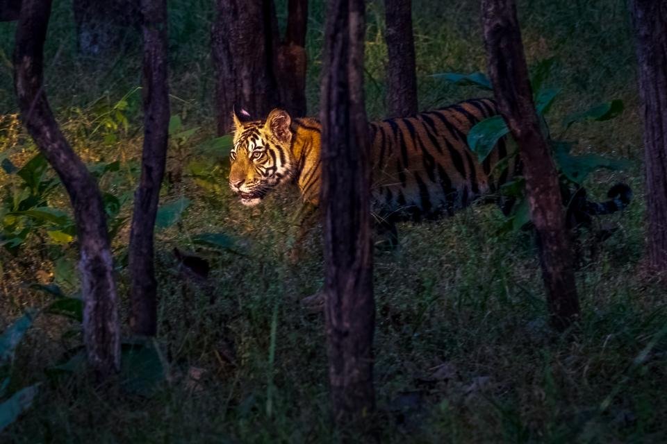 """Endangered Tiger in Pench National Park, Madhya Pradesh, India. Art Wolfe does not use the geotagging function on his camera. """"It's one thing to name a National Park where the animals are known to live, and another pinpointing an animal's exact location,"""" he says."""