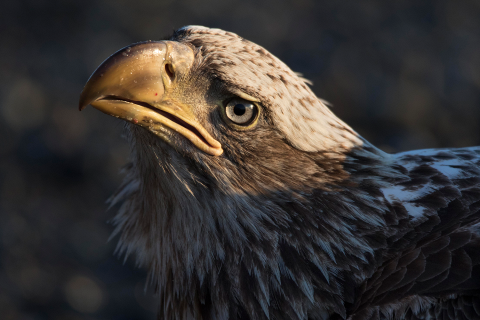 Eagle photographed with Tamron 150-600mm f/5-6.3 Di VC USD lens, f/6.3, 1/800 second, ISO 800 © Lisa Langell