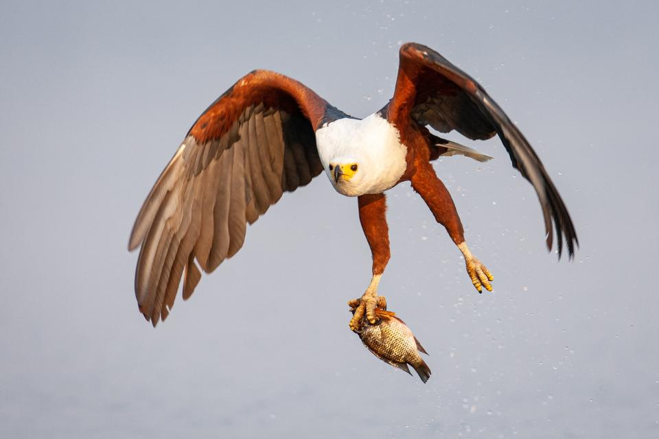 """In this classic example of a setup shot, Isak Pretorius explains, """"African fish eagles often get baited for photos by throwing a dead fish from a boat. But, dead fish sink, so stuffing a piece of papyrus in the fish's mouth helps to make it float. Yet, stuffed fish float upside down, so whenever you see a fish eagle with an upside-down fish in its talons, you can be sure it was a set-up shot."""""""