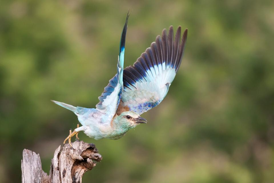 """""""Instead of scaring a perched bird to fly, it pays to wait patiently,"""" says Isak Pretorius. """"It might take hours, but when they eventually do take flight, it often results in a beautiful pose, flying towards you, instead of away."""" Such as in this photo of a colorful European Roller."""