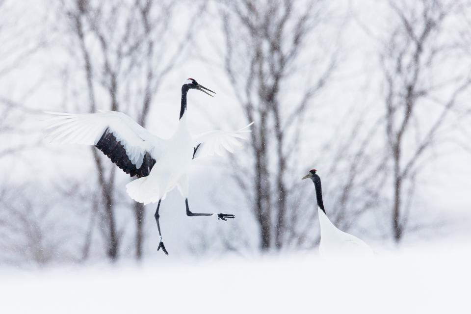 : Endangered Japanese Cranes appear to dance at a winter feeding center along the Kushiro Marshland in Hokkaido, Japan. Once thought to be extinct, conservation efforts have helped these spectacular birds make a dramatic recovery.