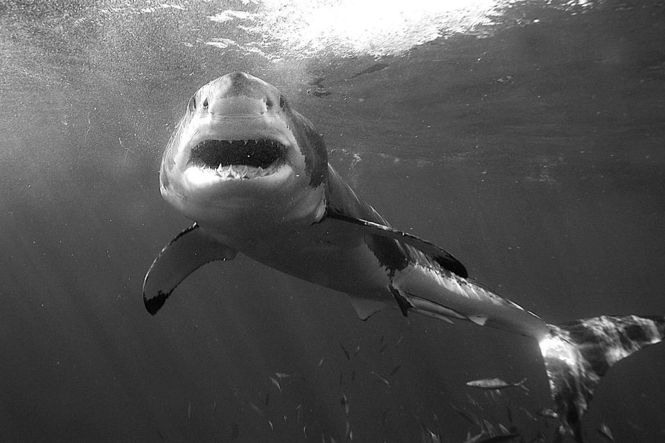 Great White Shark, Kike Calvo