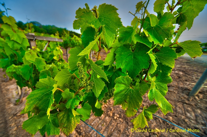 An HDR Image of early spring grapes.